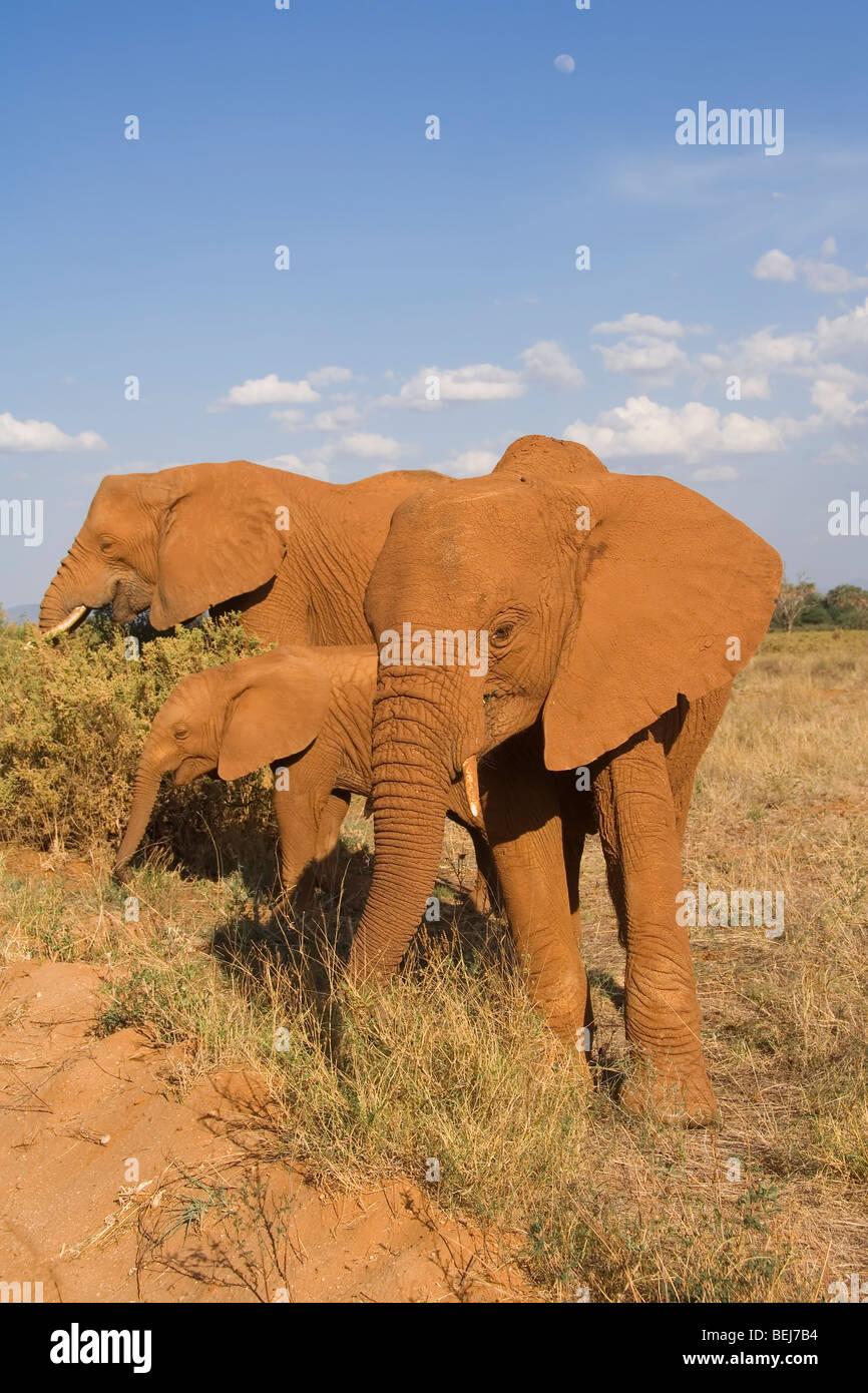 African Elephant, Loxodonta africana, Kenya - Stock Image