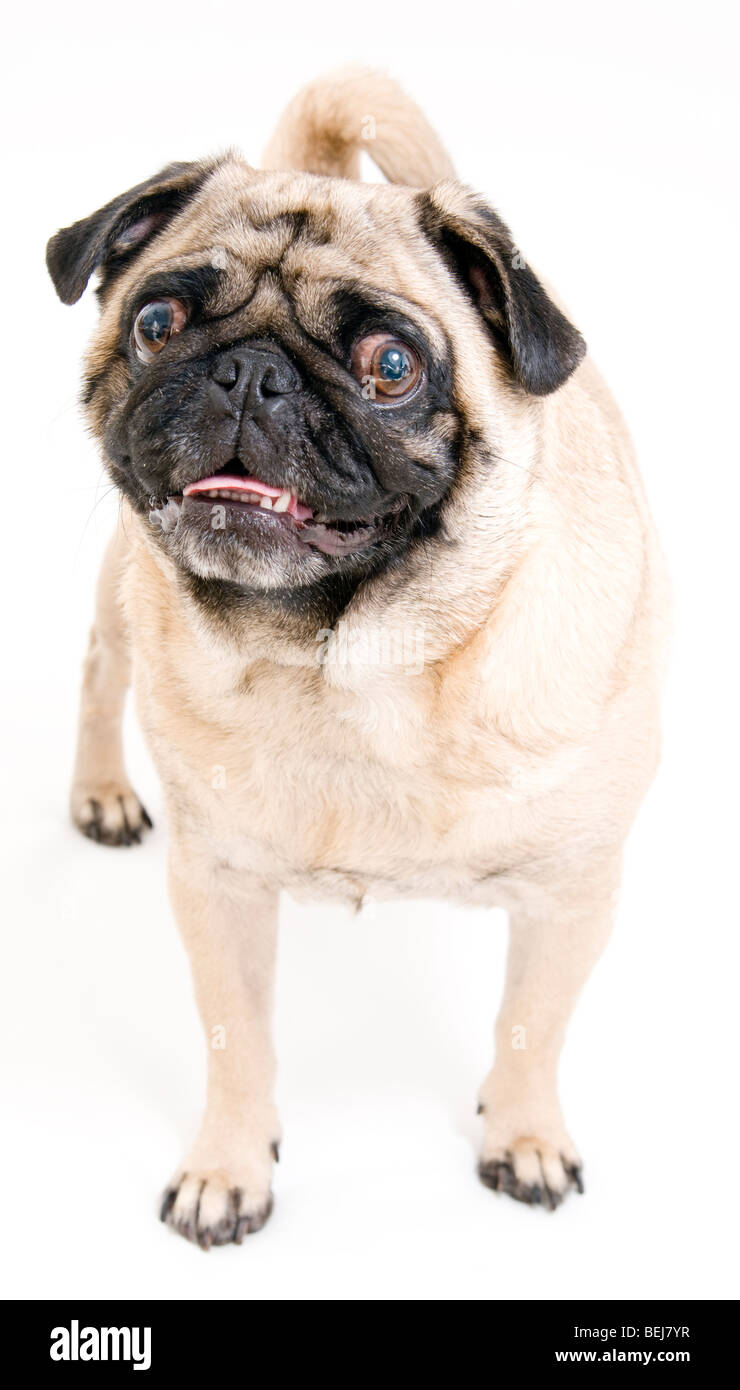 Cute Pug Isolated - Stock Image