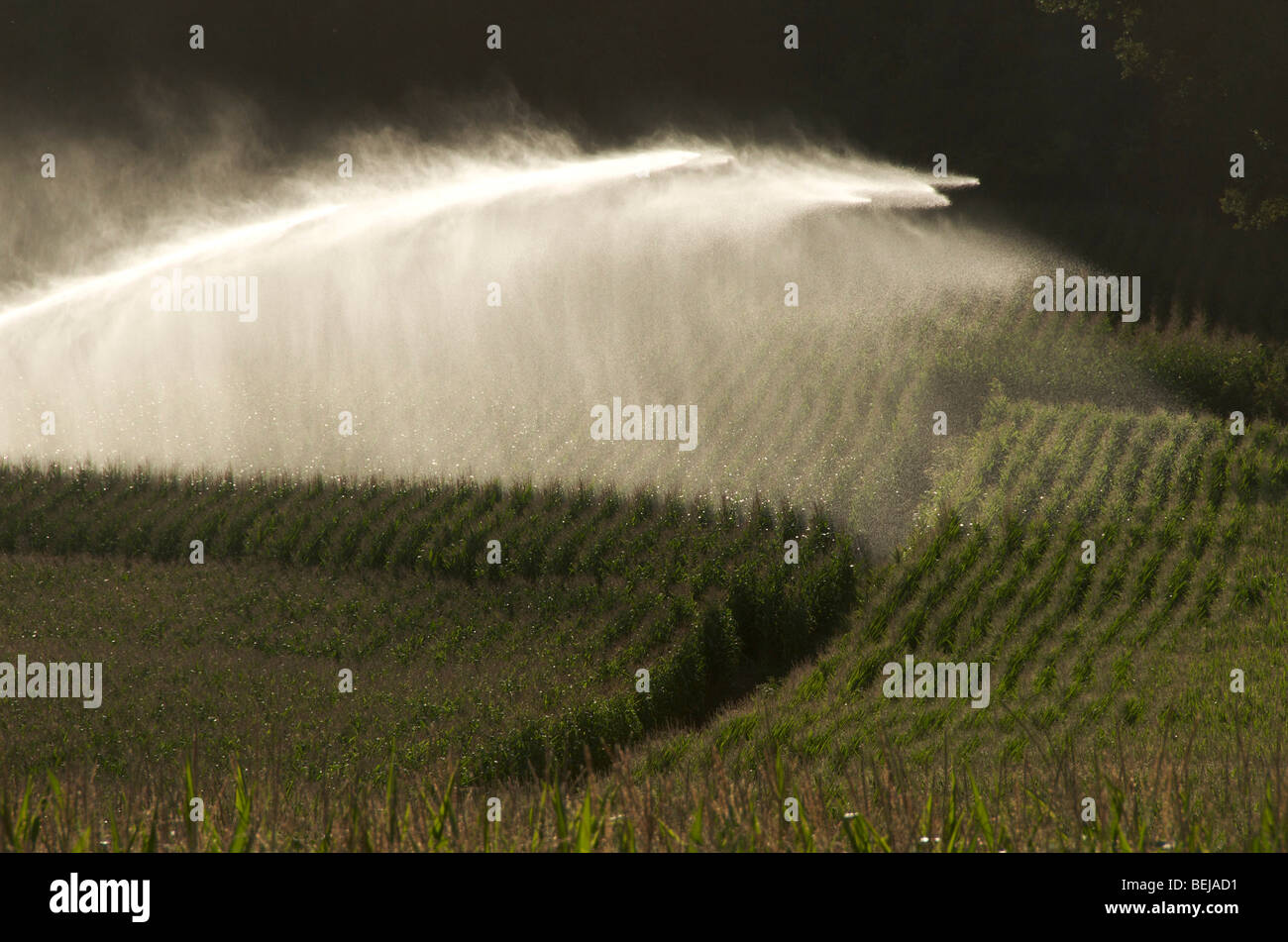 Sprinkler installation in a field of maize - Stock Image