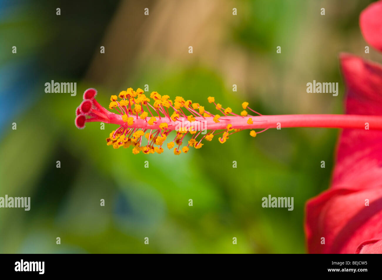The Pistil and Stamens Of A Red Hibiscus Flower Stock Photo
