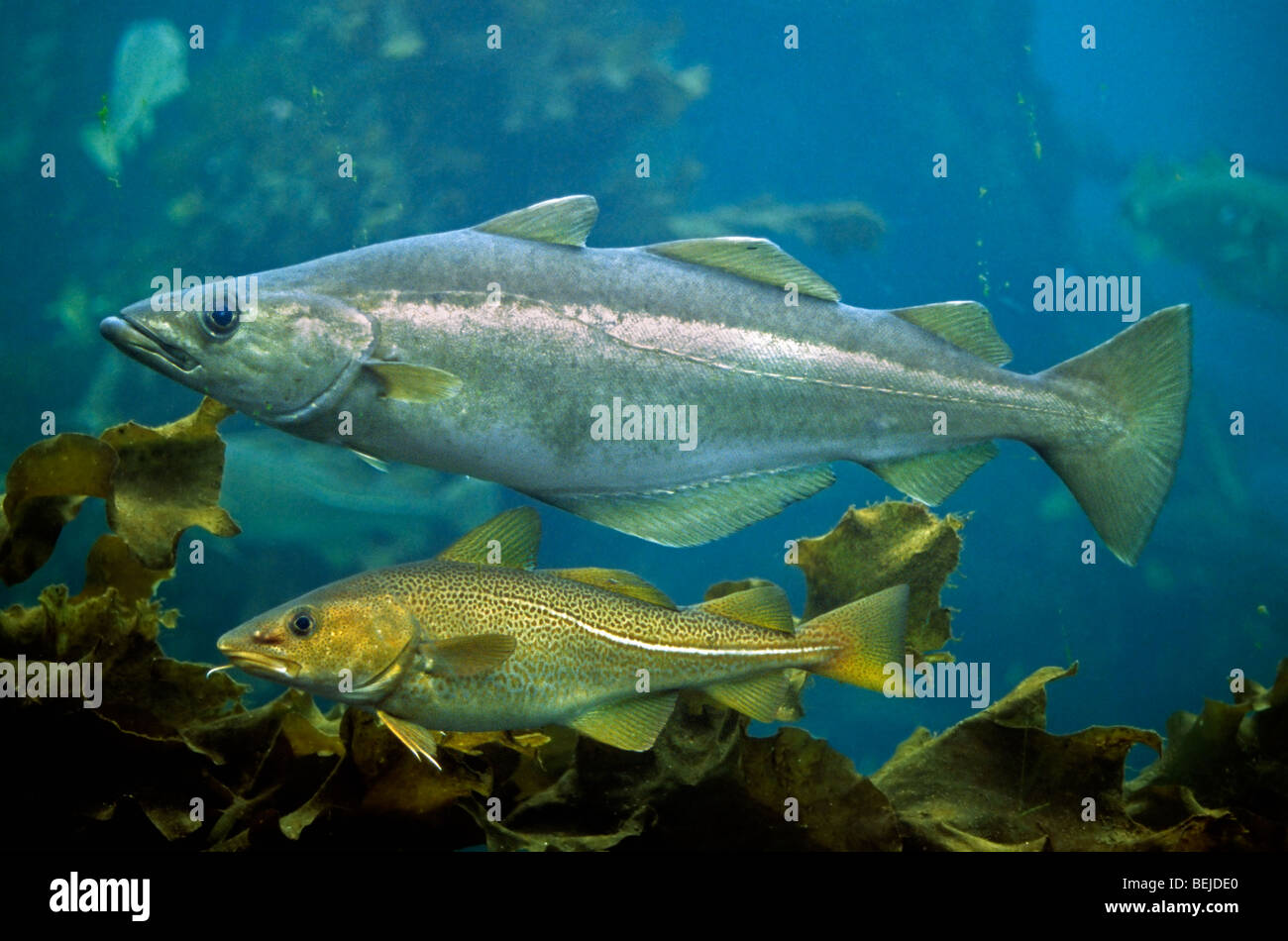 Atlantic cod (Gadus morhua) and European pollock (Pollachius pollachius) swimming underwater, Scandinavia, Norway - Stock Image