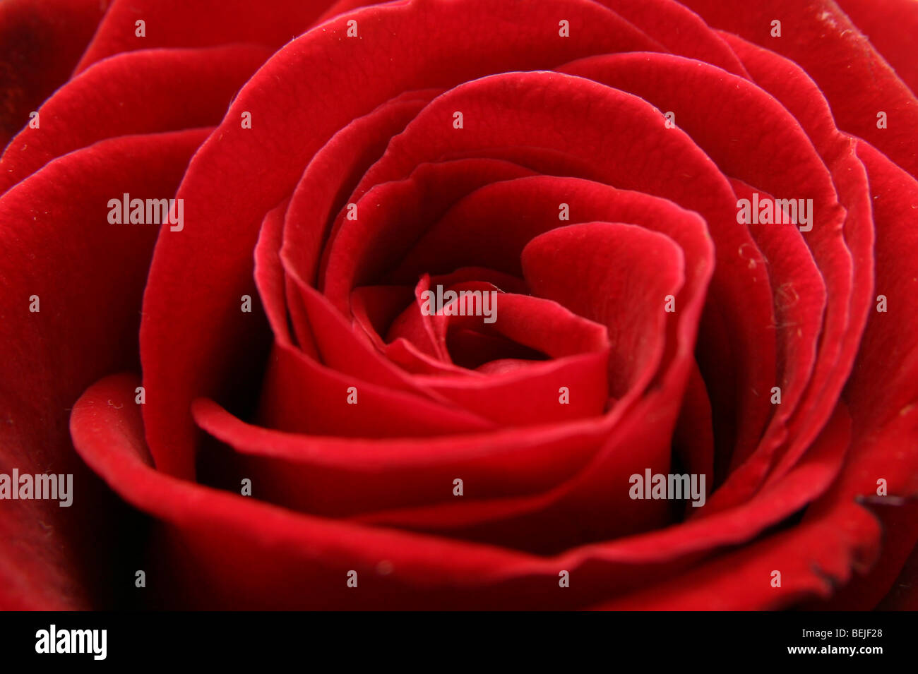 Close up of a beautiful red rose - Stock Image