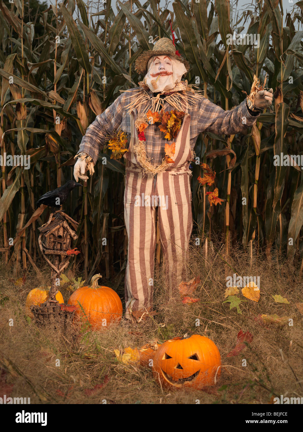 Scarecrow and pumpkins in a corn field. Halloween theme. - Stock Image