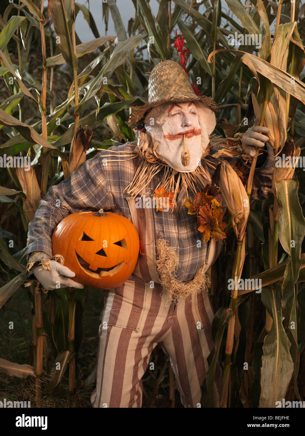 Scarecrow sneaking through a corn field with a stolen carved pumpkin under his arm. Halloween theme. - Stock Image