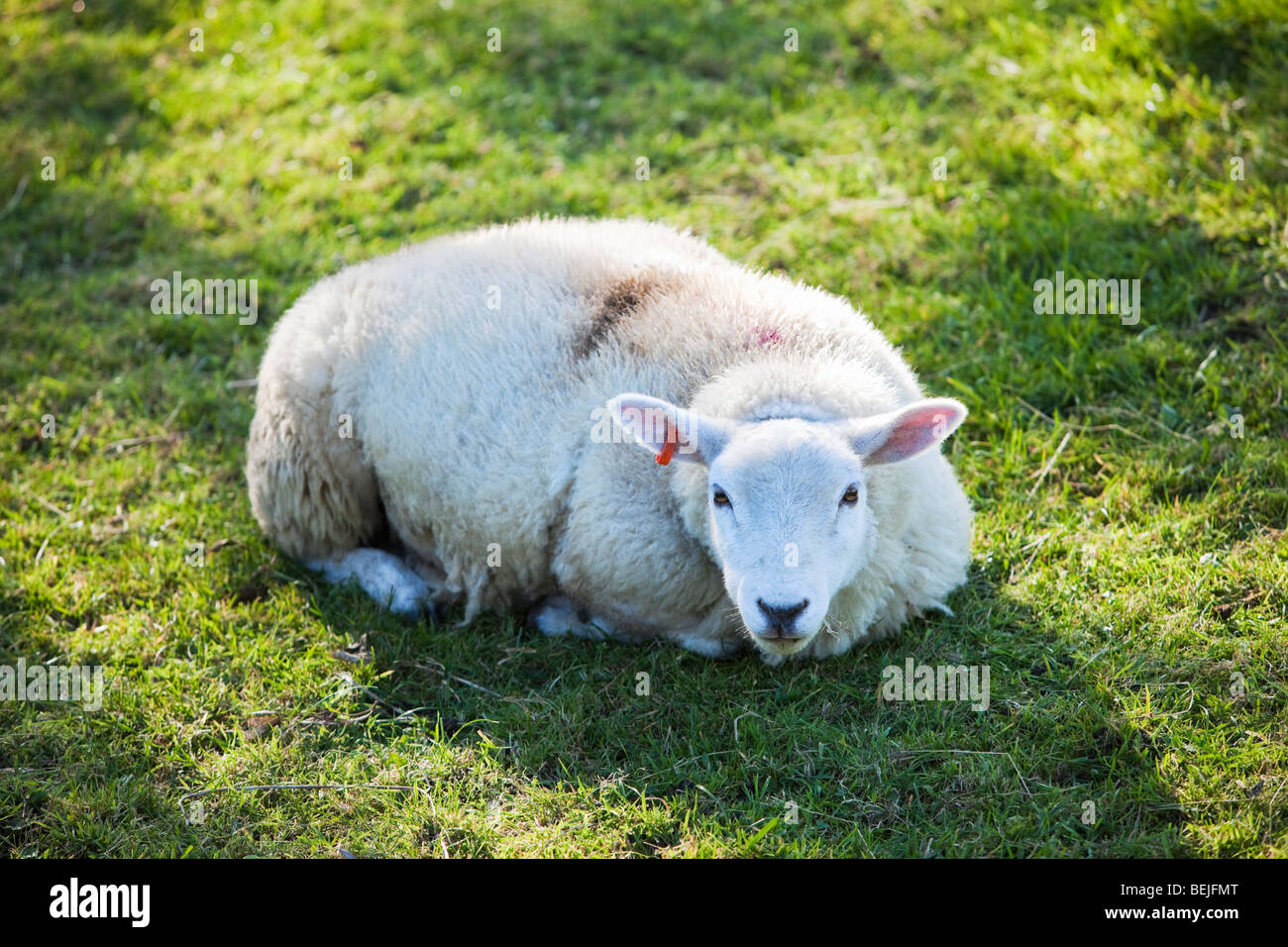 Young ewe lying down looking at camera Yorkshire England UK - Stock Image