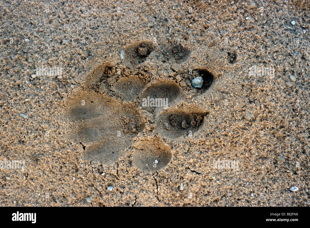 lion track panthera leo footprint of paw imprinted in the sand
