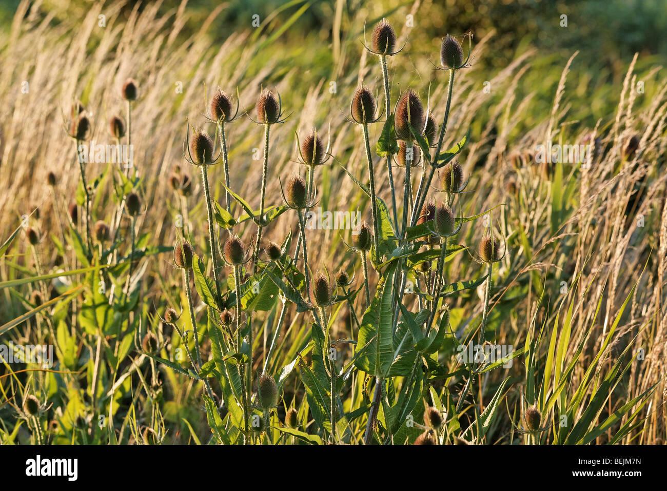 Common teasel (Dipsacus fullonum), Belgium - Stock Image