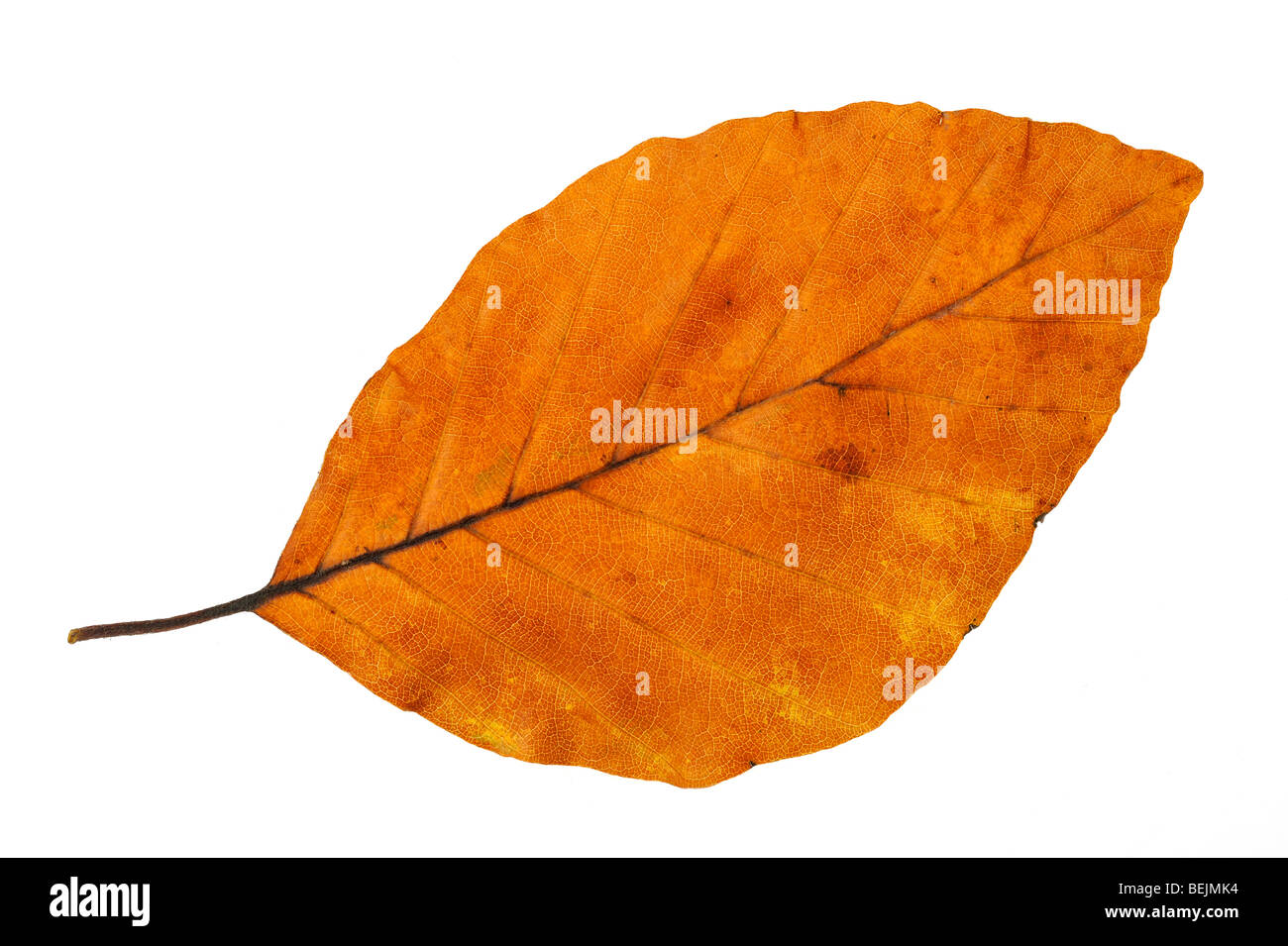 Beech (Fagus sylvatica) leaf in autumn colours, Belgium Stock Photo