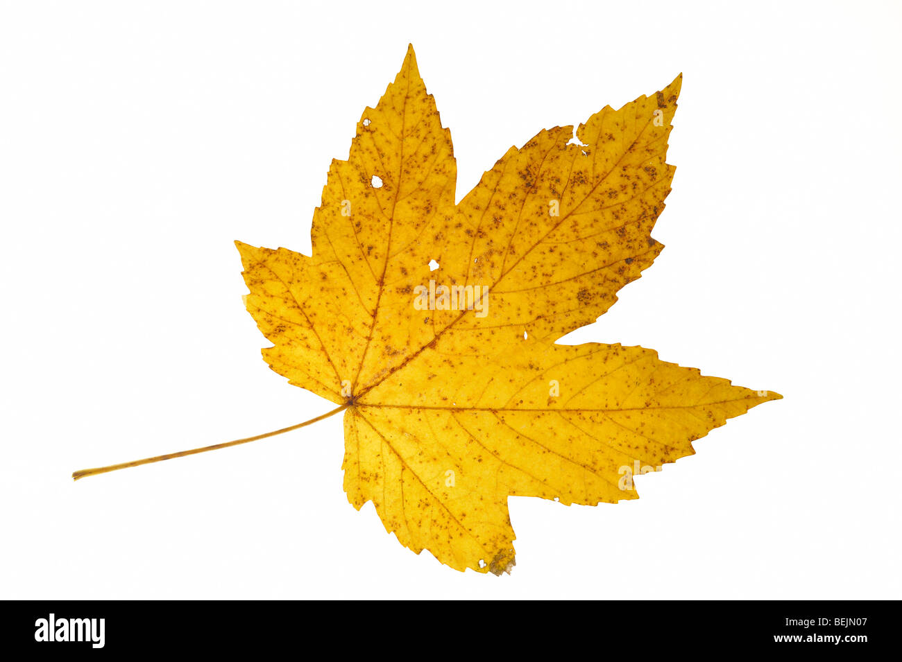 Sycamore maple (Acer pseudoplatanus) leaf in autumn colours on white background Stock Photo