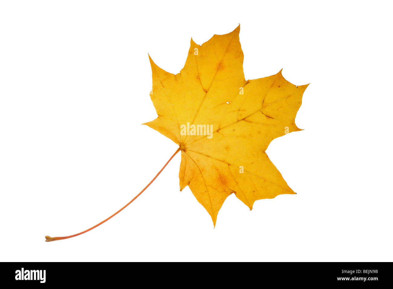 Norway maple tree (Acer platanoides) leaf in autumn colours on white background - Stock Image