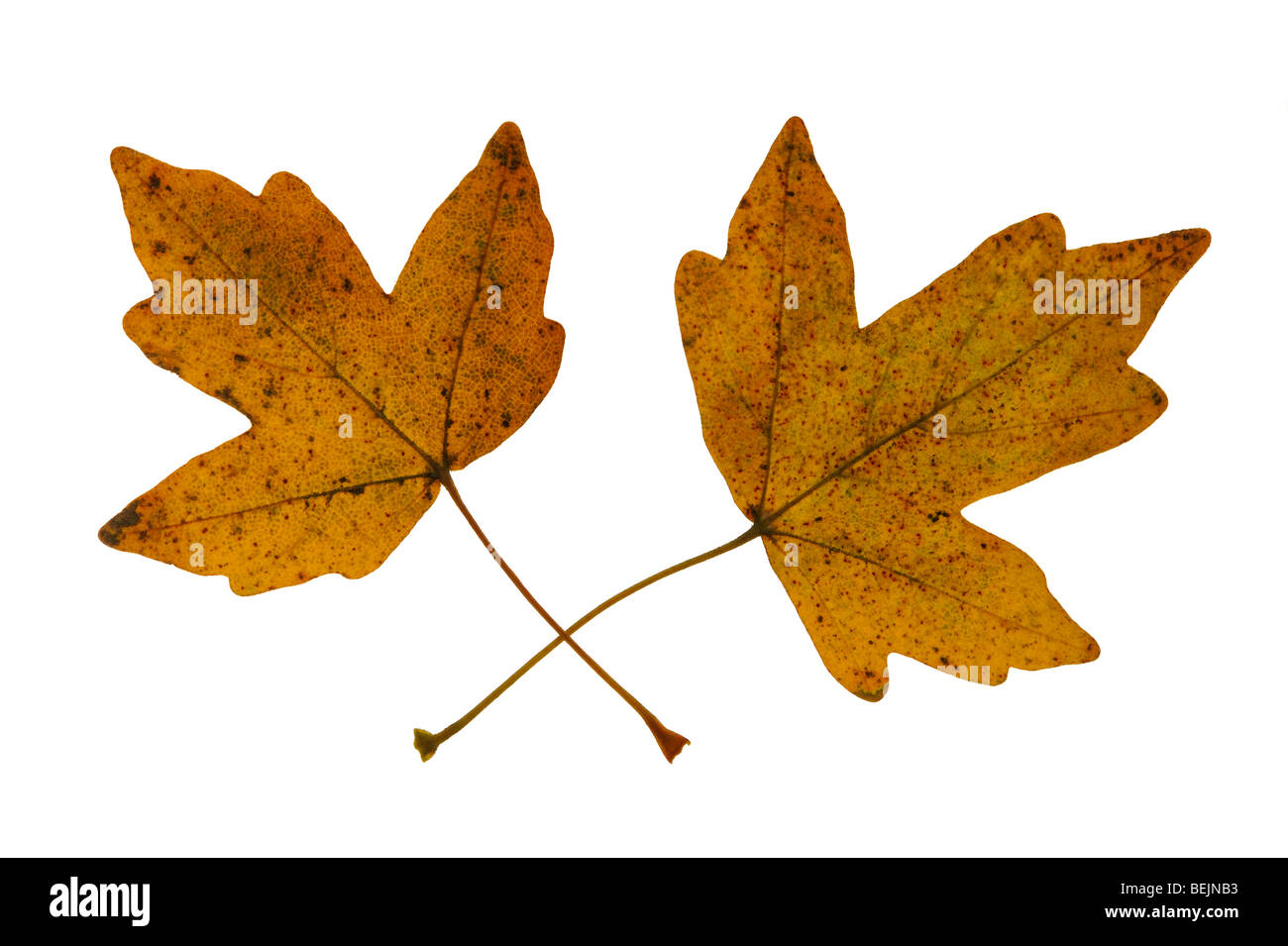 Field maple (Acer campestre) leaves in autumn colours, Europe - Stock Image