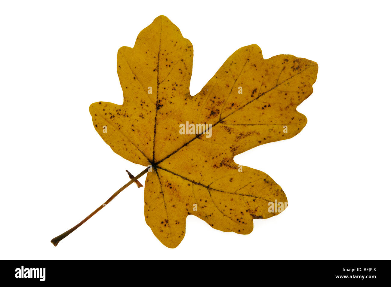 Field maple (Acer campestre) leaf in autumn colours, Europe - Stock Image