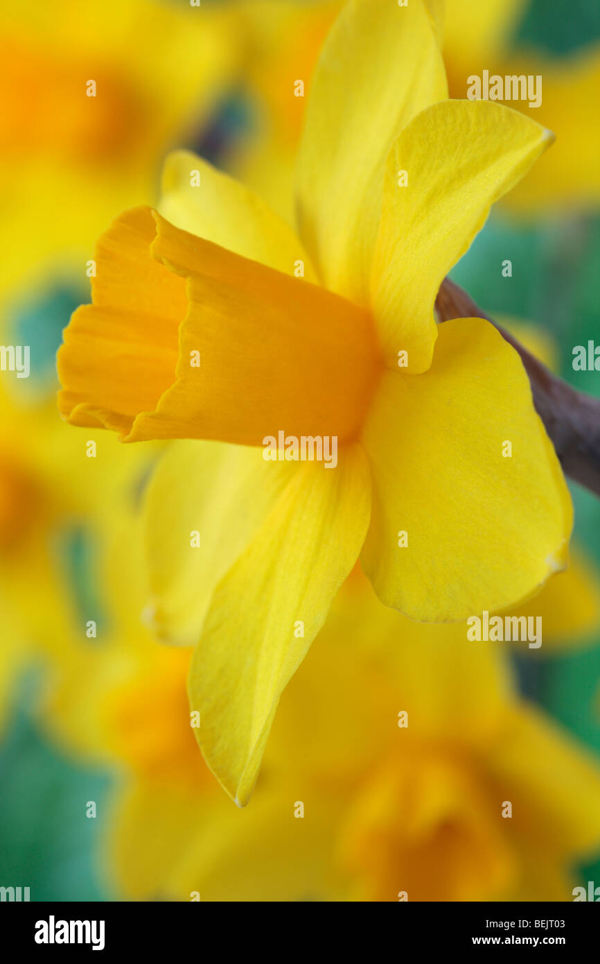 Narcissus 'Sweetness'  AGM (Daffodil) Div.7 Jonquilla - Stock Image