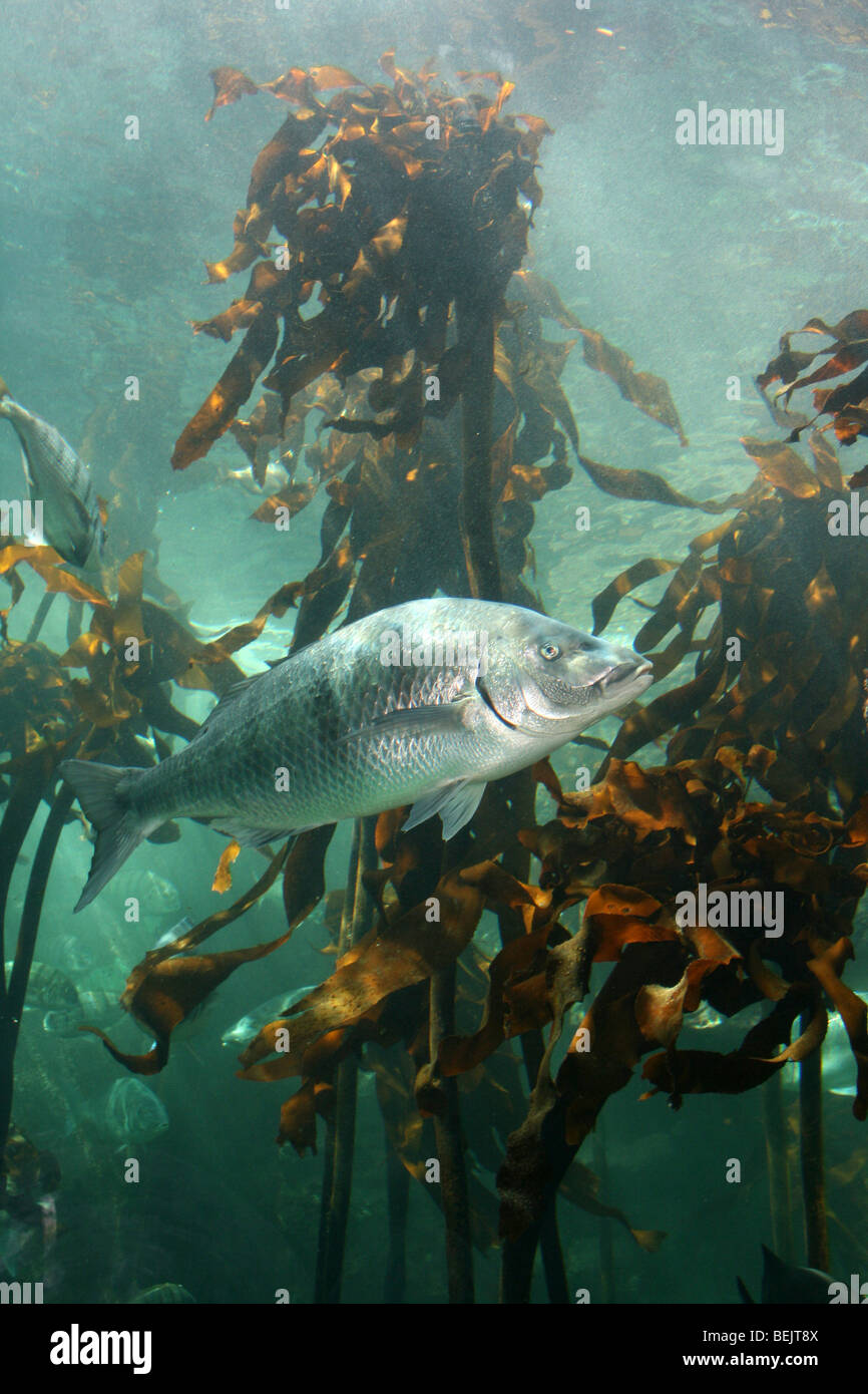 Marine Fish Swimming In THe Kelp Forest At Two Oceans Aquarium, Cape Town, South Africa - Stock Image