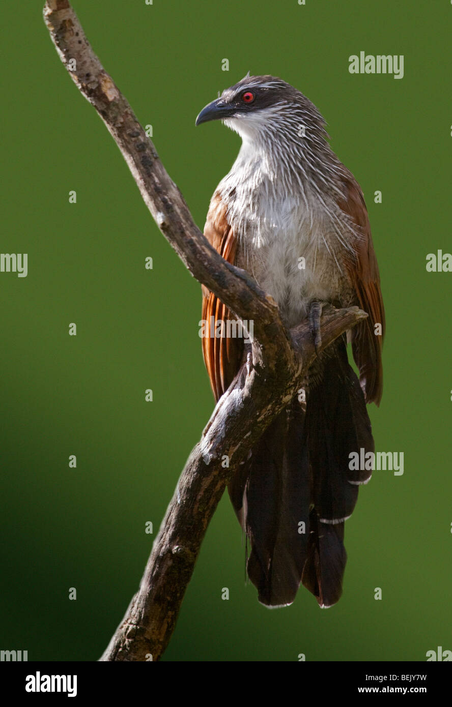 White-Browed Coucal (centropus superciliosus) - Stock Image