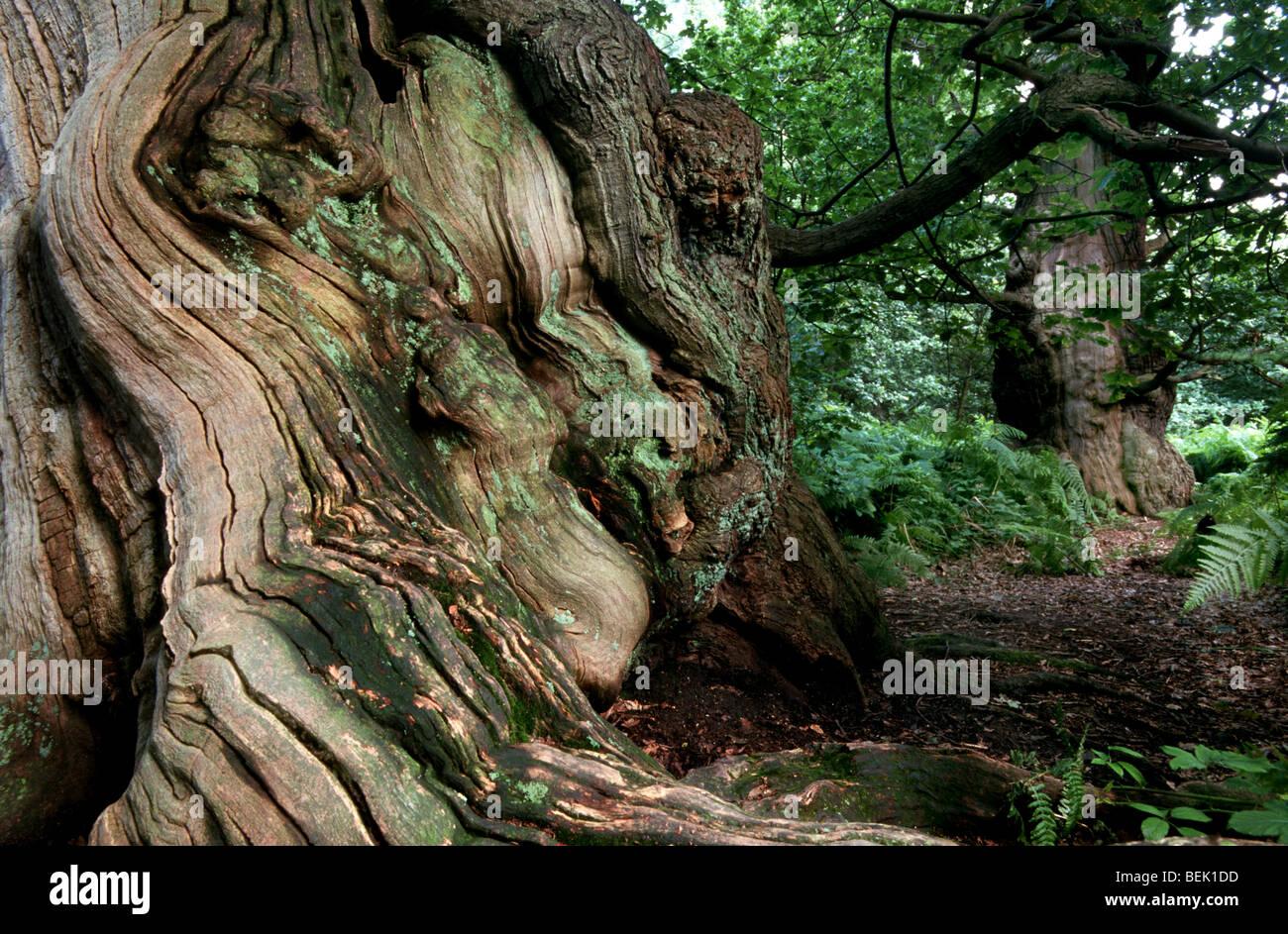 Old oak in woodland of Sherwood Forest, Nottinghamshire, UKStock Photo