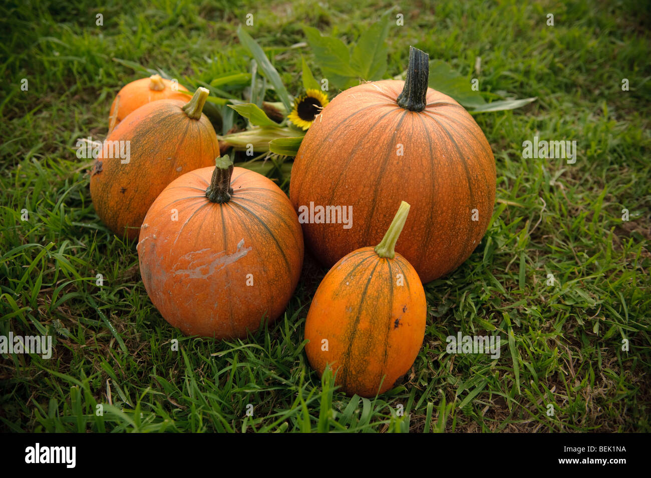 five 5 fresh Freshly harvested bright orange pumpkins grown on an allotment garden in the UK - Stock Image