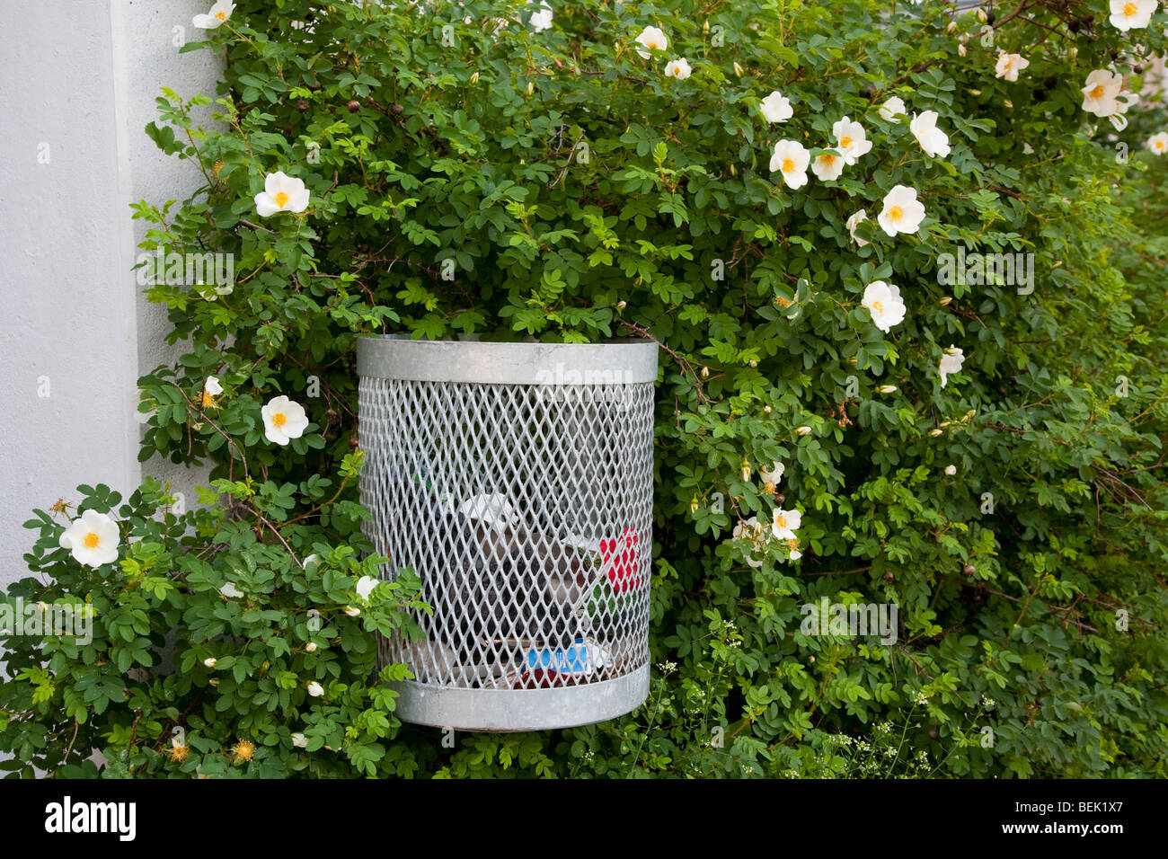 Trash can in a rose bush Stock Photo