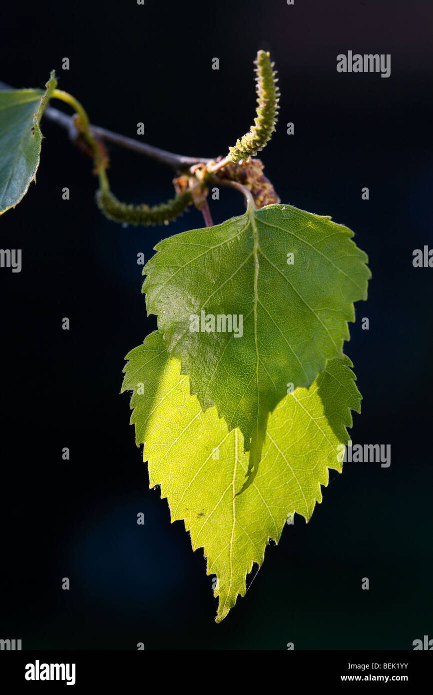 Silver birch leaves (Betula pendula) in spring - Stock Image