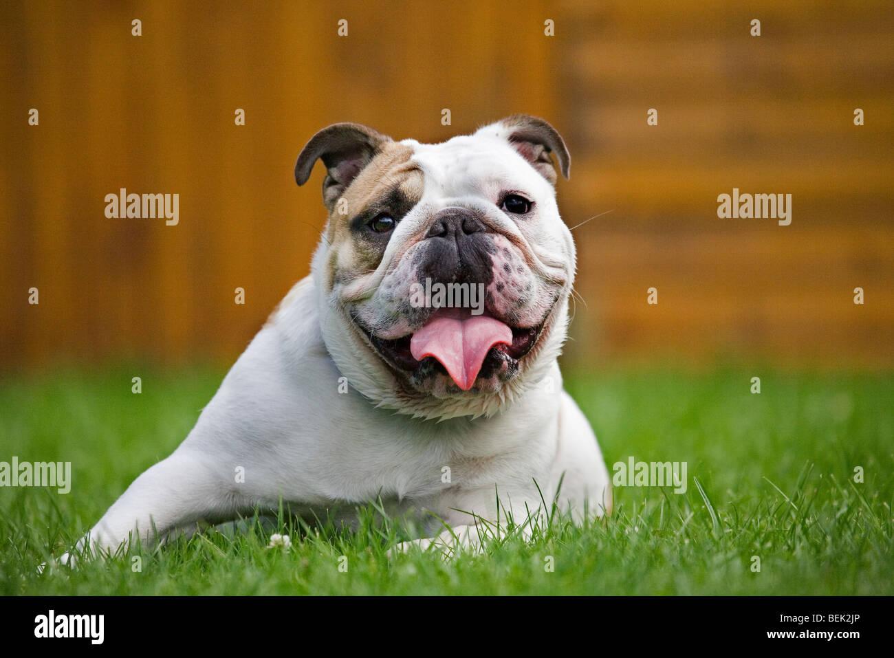 Bulldog, British dog breed on lawn in garden - Stock Image