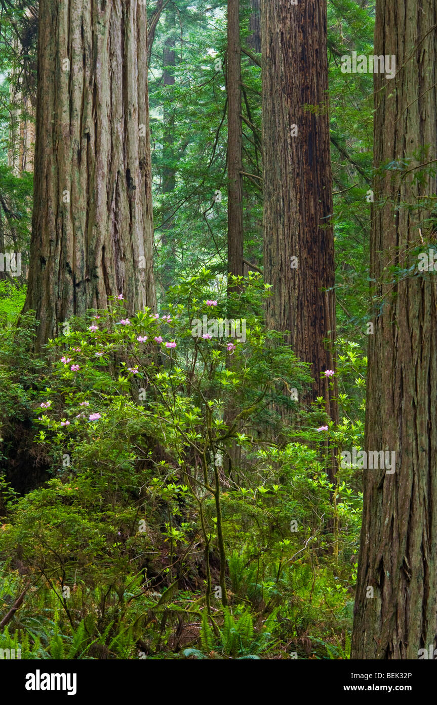 Wild rhododendrons bloom in Redwood tree forest, Del Norte Coast Redwood State Park, California Stock Photo