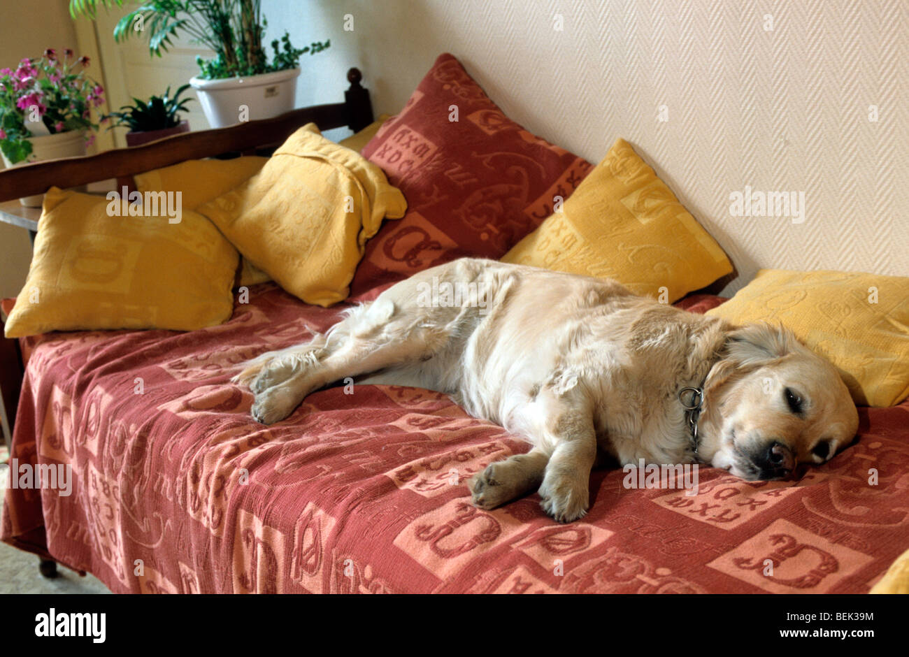 Golden retriever dog asleep on bed in sleeping room at home in house - Stock Image