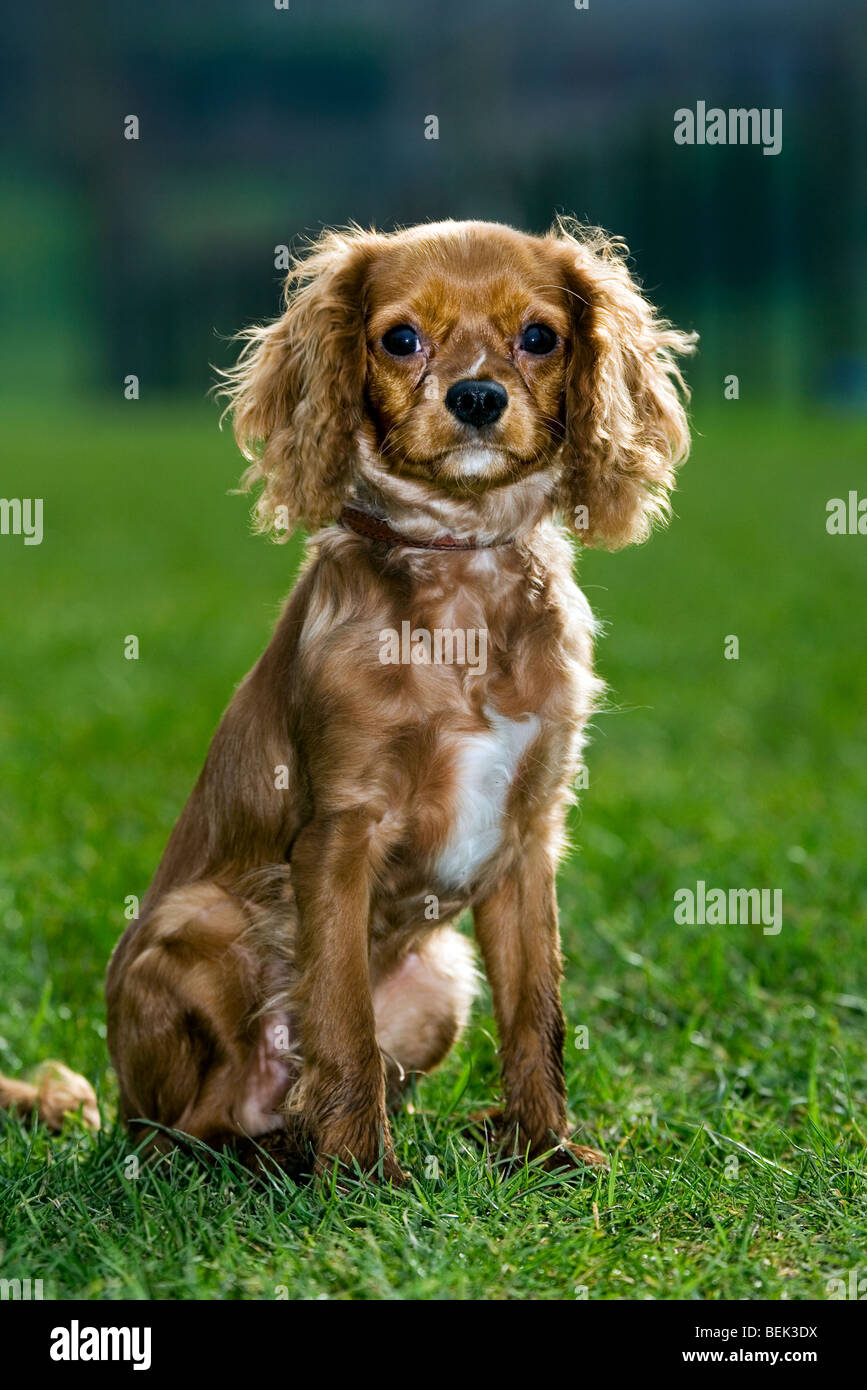 King Charles spaniel sitting on lawn in garden - Stock Image