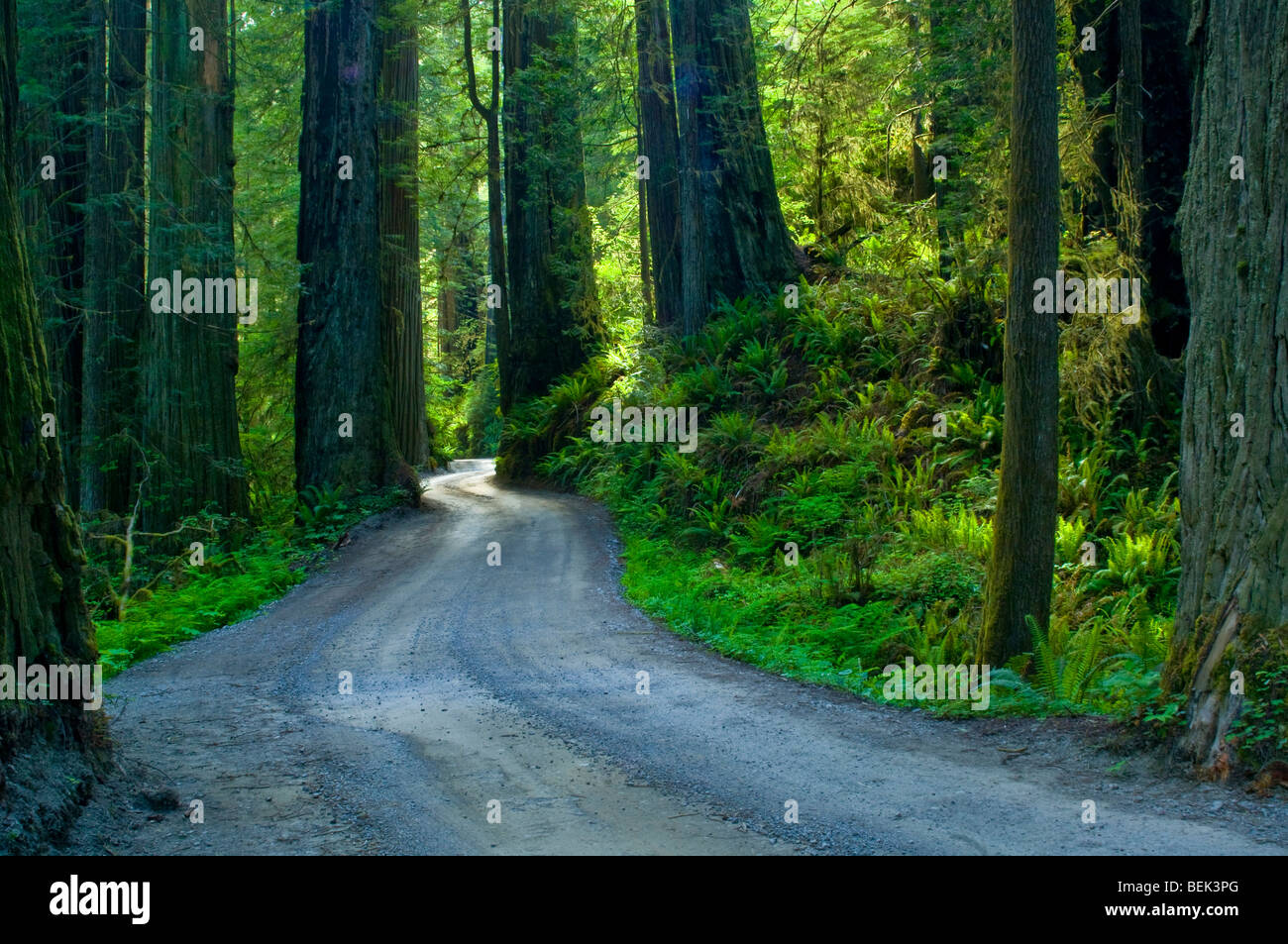 Sunlight through redwood trees in forest, Howland Hill road, Jedediah Smith Redwoods State Park, California - Stock Image