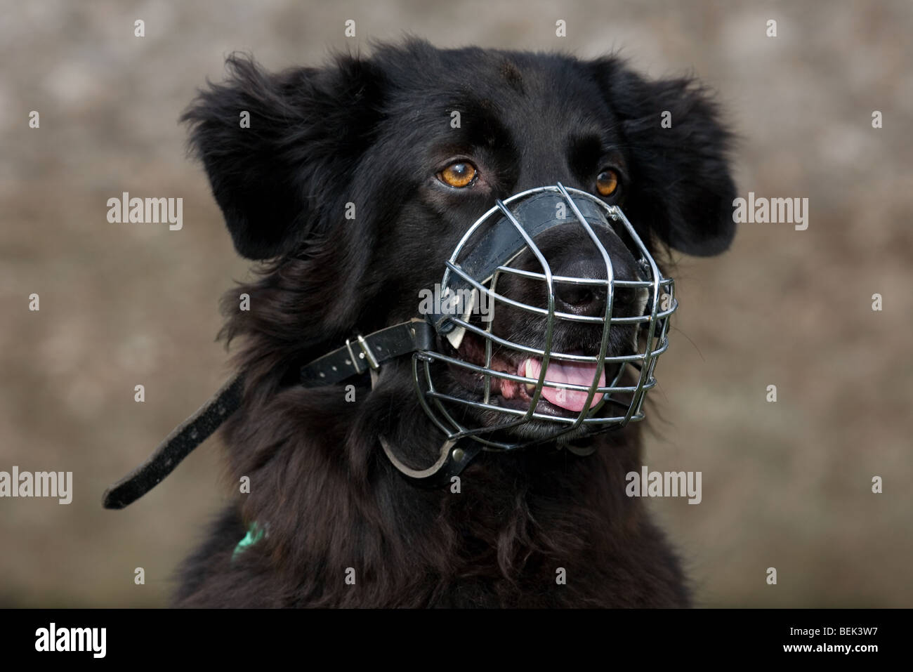 Close up of black mongrel dog wearing muzzle to prevent biting - Stock Image