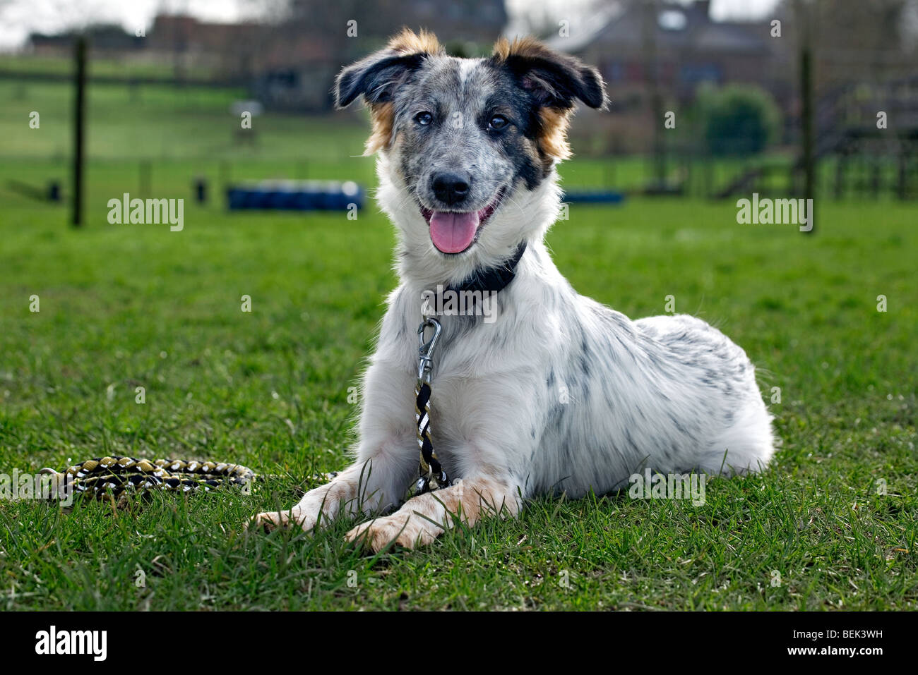 Mongrel dog lying on lawn in garden - Stock Image