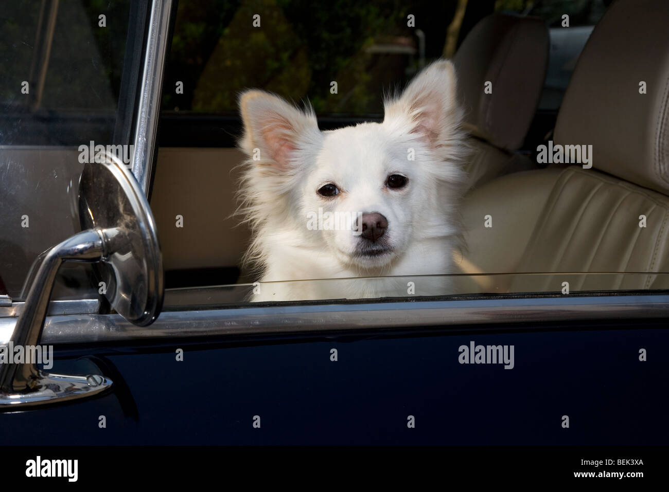 Curious white mongrel dog looking through car window - Stock Image