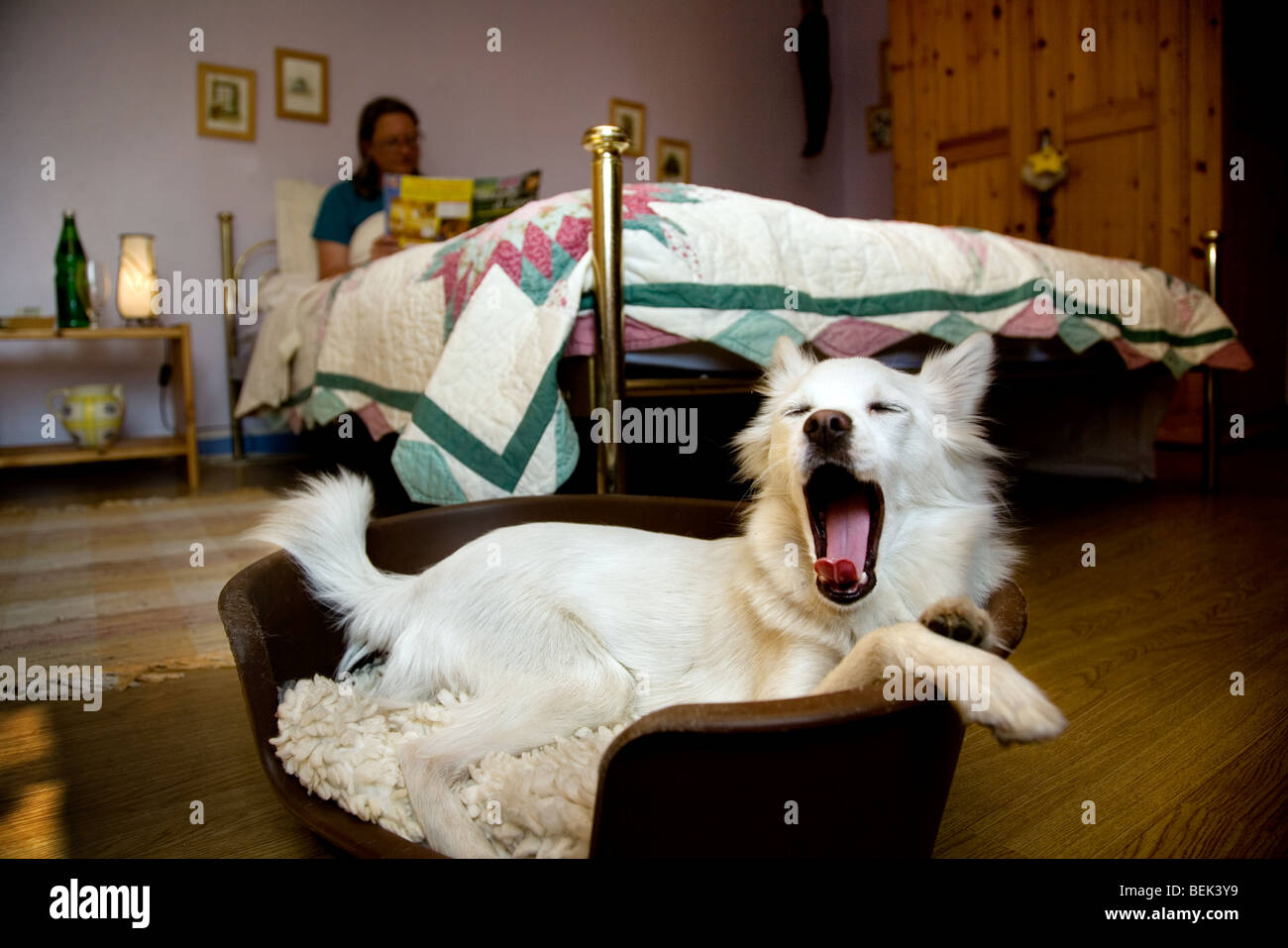 Woman reading in bed and sleepy white mongrel dog yawning before going to sleep in basket in bedroom chamber of - Stock Image