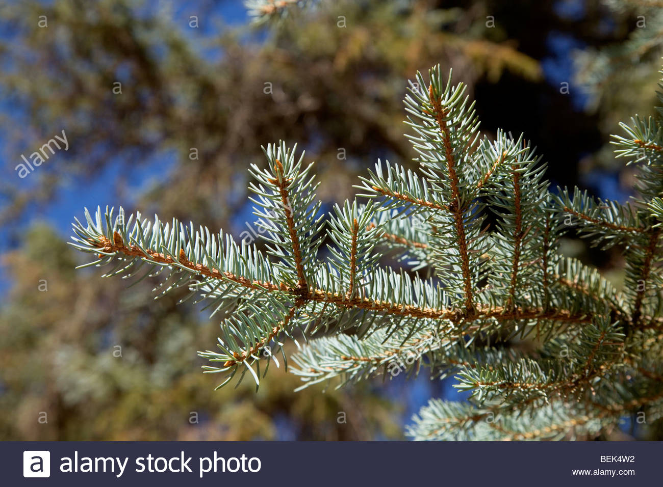 Colorado Blue Spruce Picea pungens close-up needles Stock Photo
