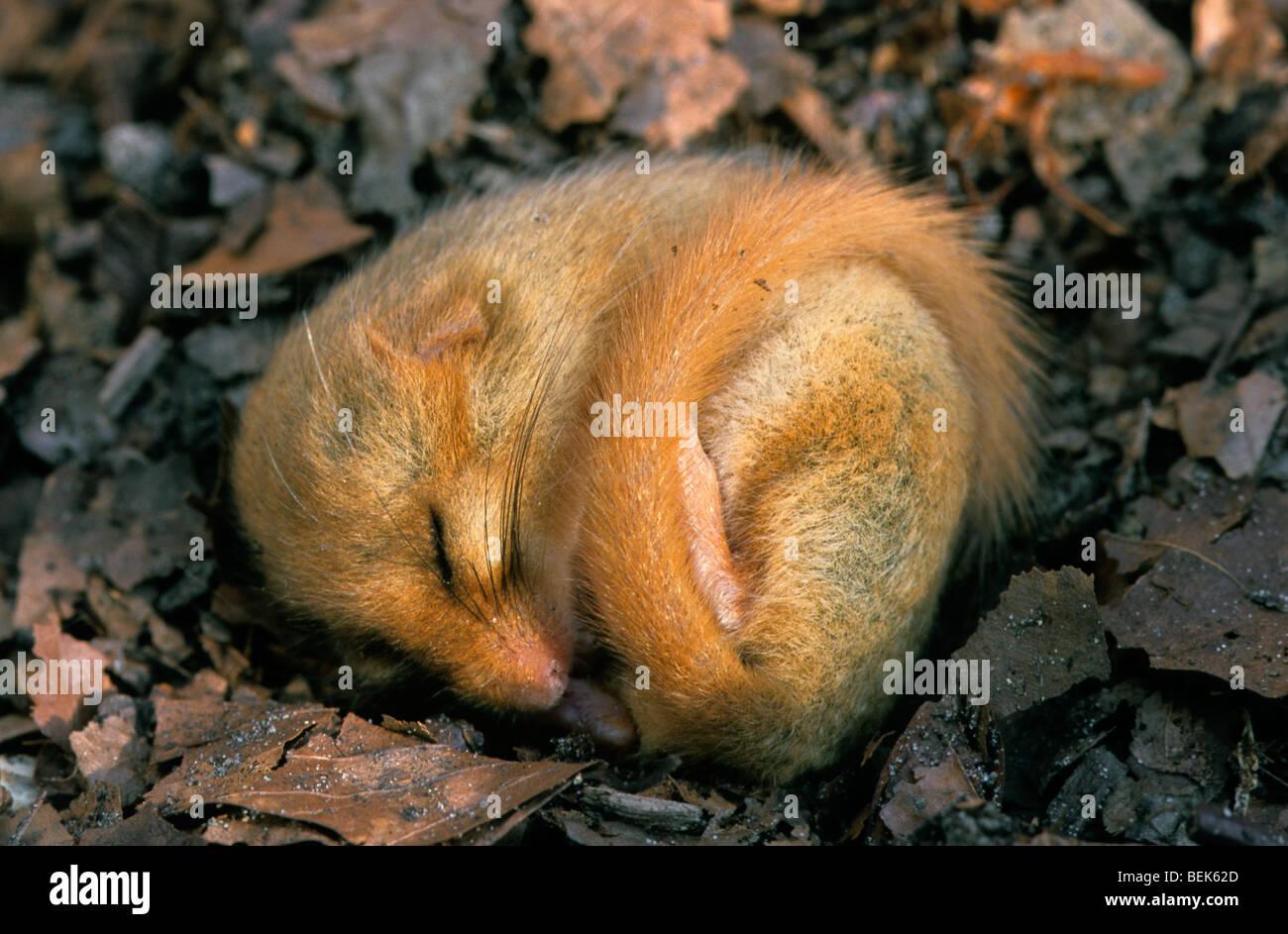 Common dormouse / hazel dormouse (Muscardinus avellanarius) sleeping in leaf litter on forest floor during hibernation - Stock Image