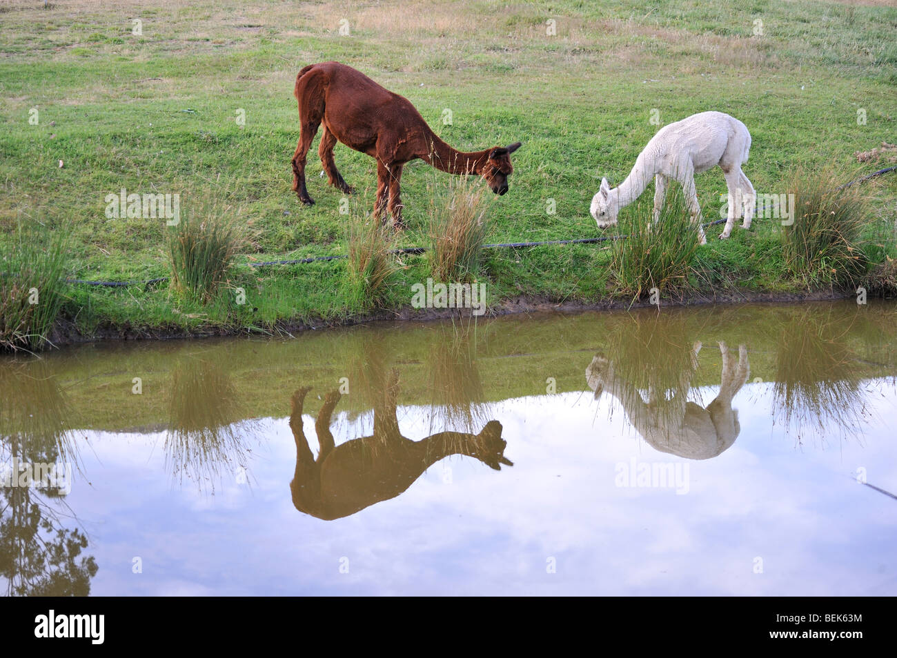ALPACAS, TASMANIA, AUSTRALIA Stock Photo