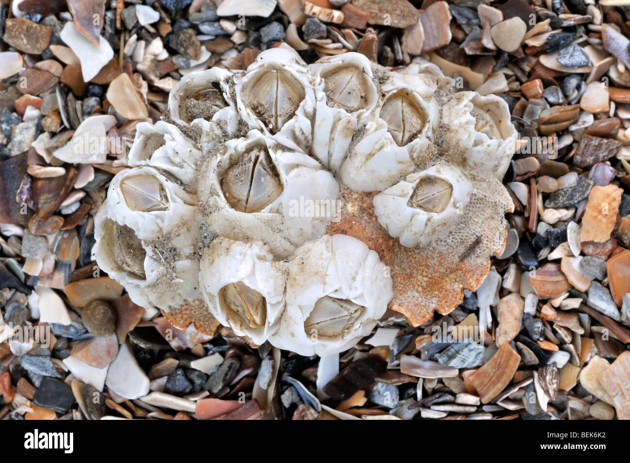 Acorn barnacles / Rock barnacles (Semibalanus balanoides) on crab's shell, Belgium Stock Photo
