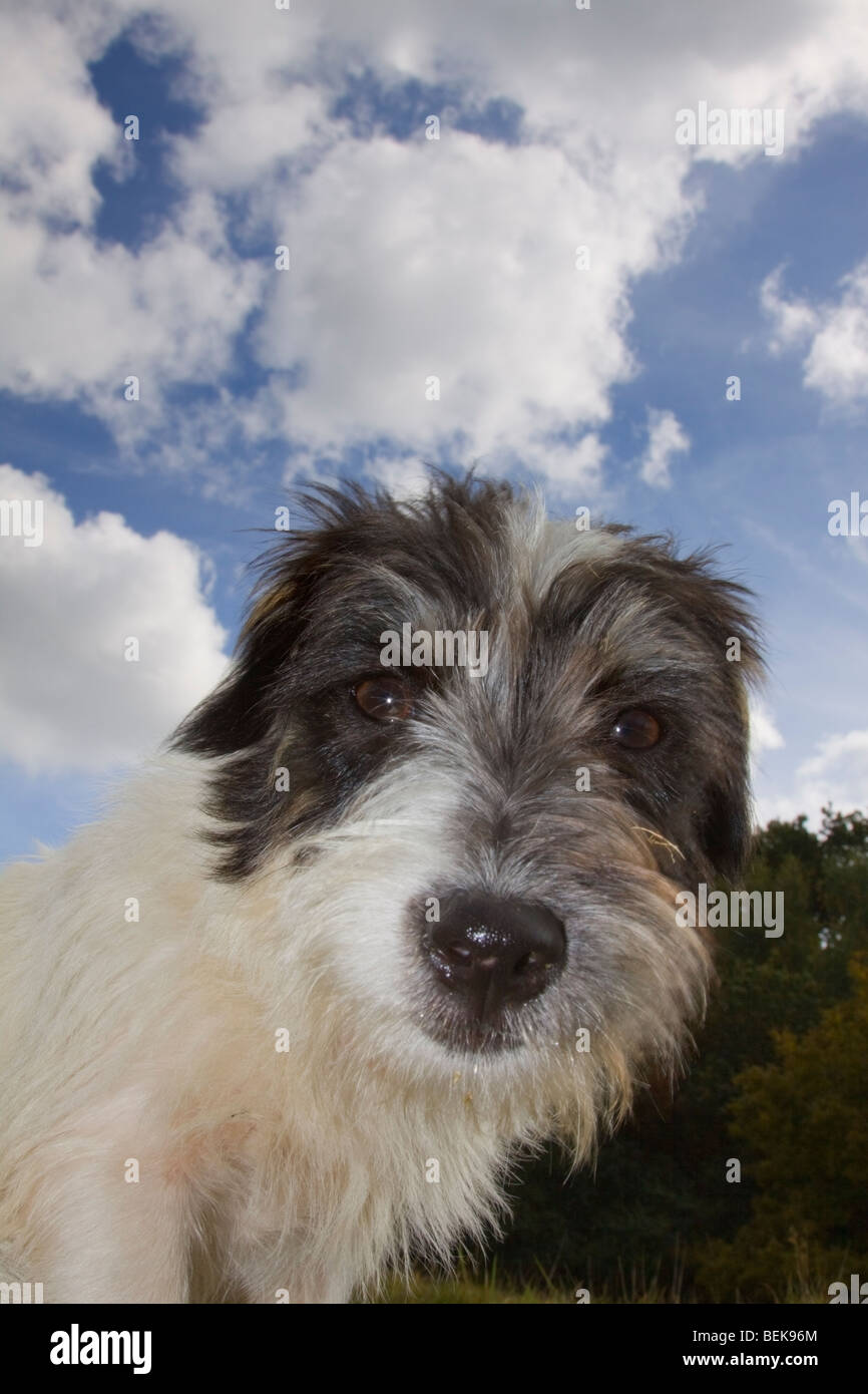 low level view of Jack Russell against a blue, cloudy sky - Stock Image