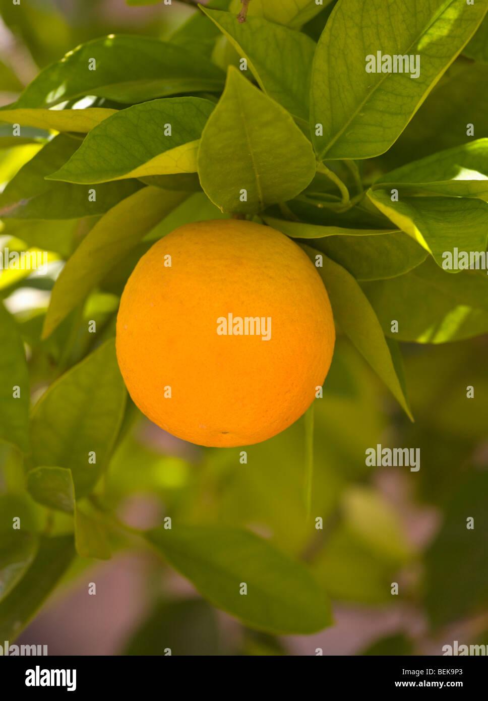 Orange tree Taroudant Morocco Stock Photo
