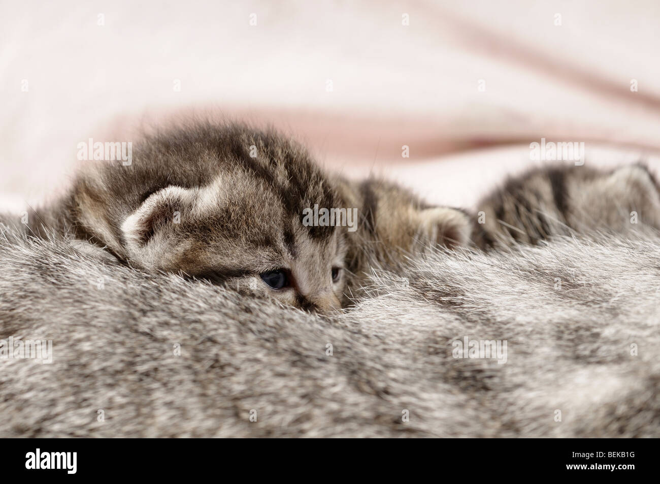 Stock photo of kittens suckling milk from their mother. - Stock Image
