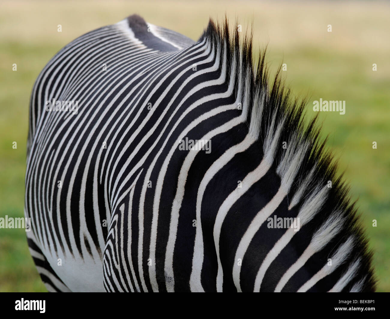 The coat of a zebra with a striped mane. - Stock Image