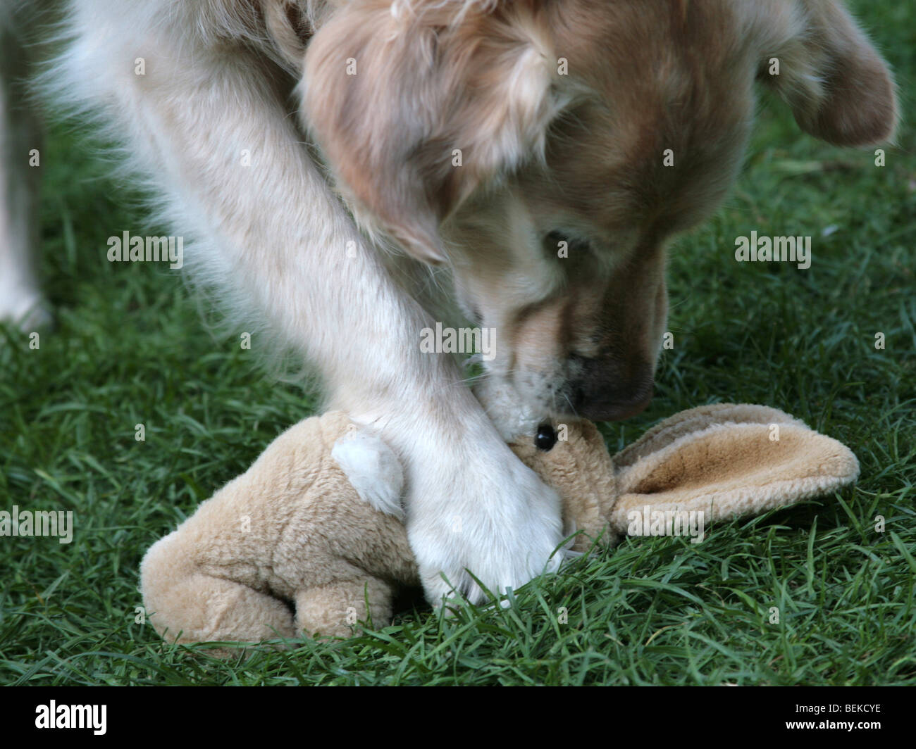 A naughty dog playing with a cuddly toy, a bad dog. - Stock Image