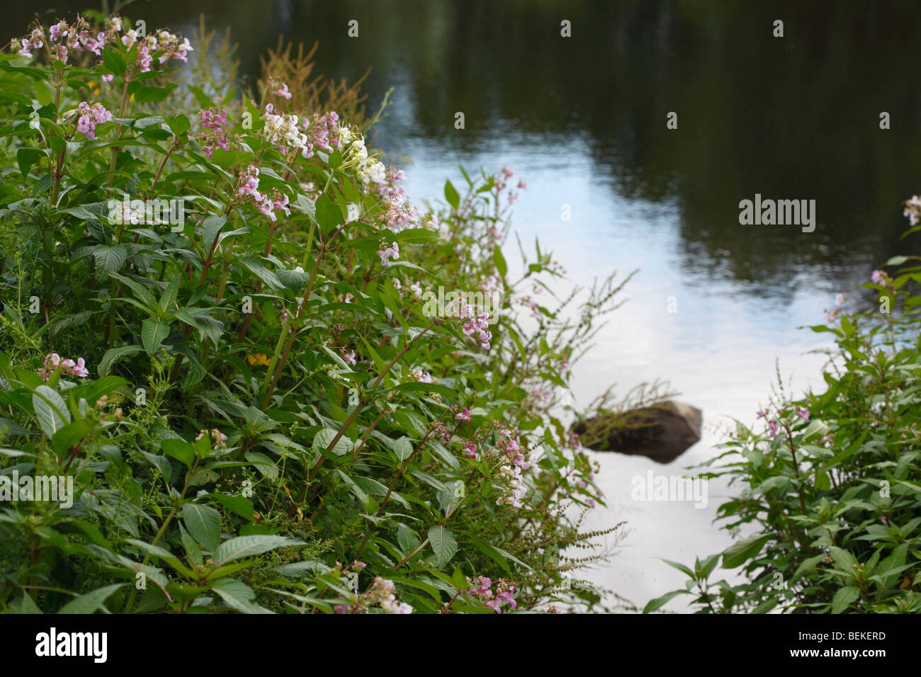 Indian balsam(impatiens glandulifera) growing on river bank Stock Photo