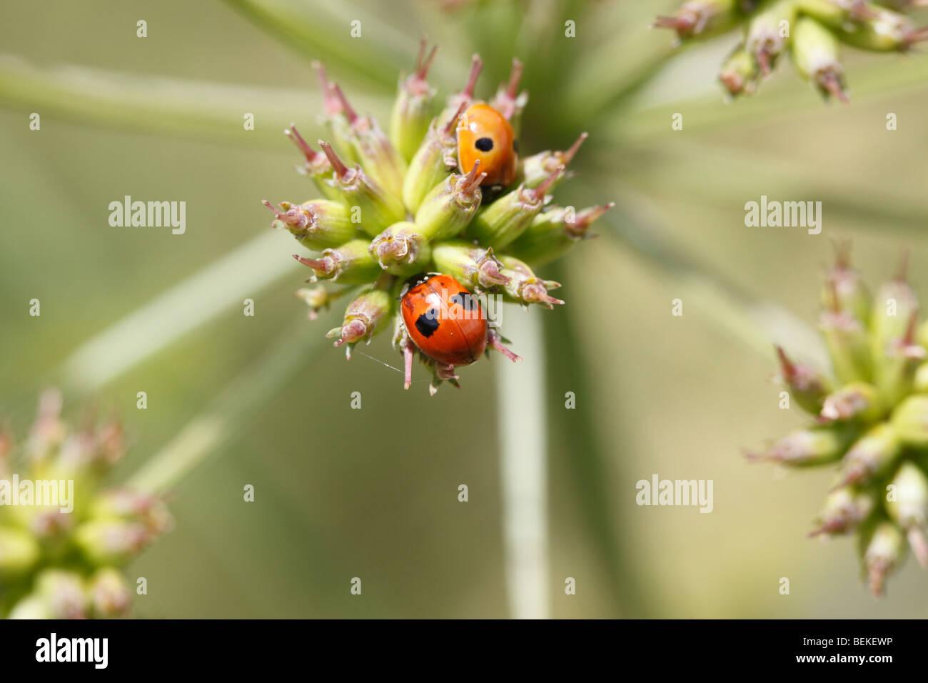 Two spot ladybird (Adalia bipunctata) at rest on seed head - Stock Image