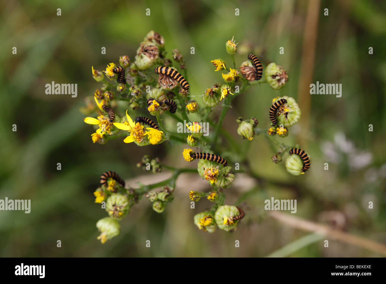 Cinnabar moth (Callimorpha jacobaeae) caterpillars feeding on ragwort - Stock Image