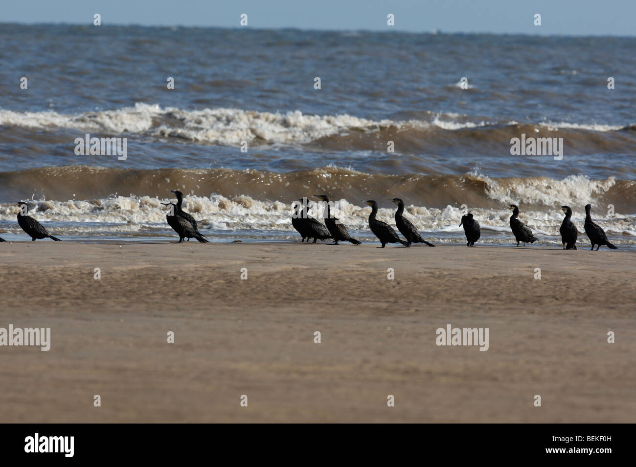 Cormorants (Phalacrocorax carbo) resting on beach - Stock Image