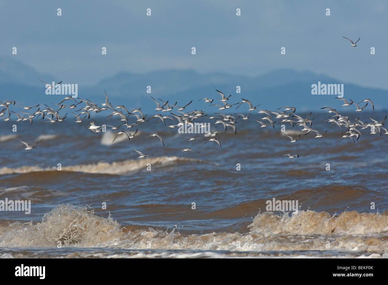 Little terns (Sterna albifrons) in flight over breakers - Stock Image