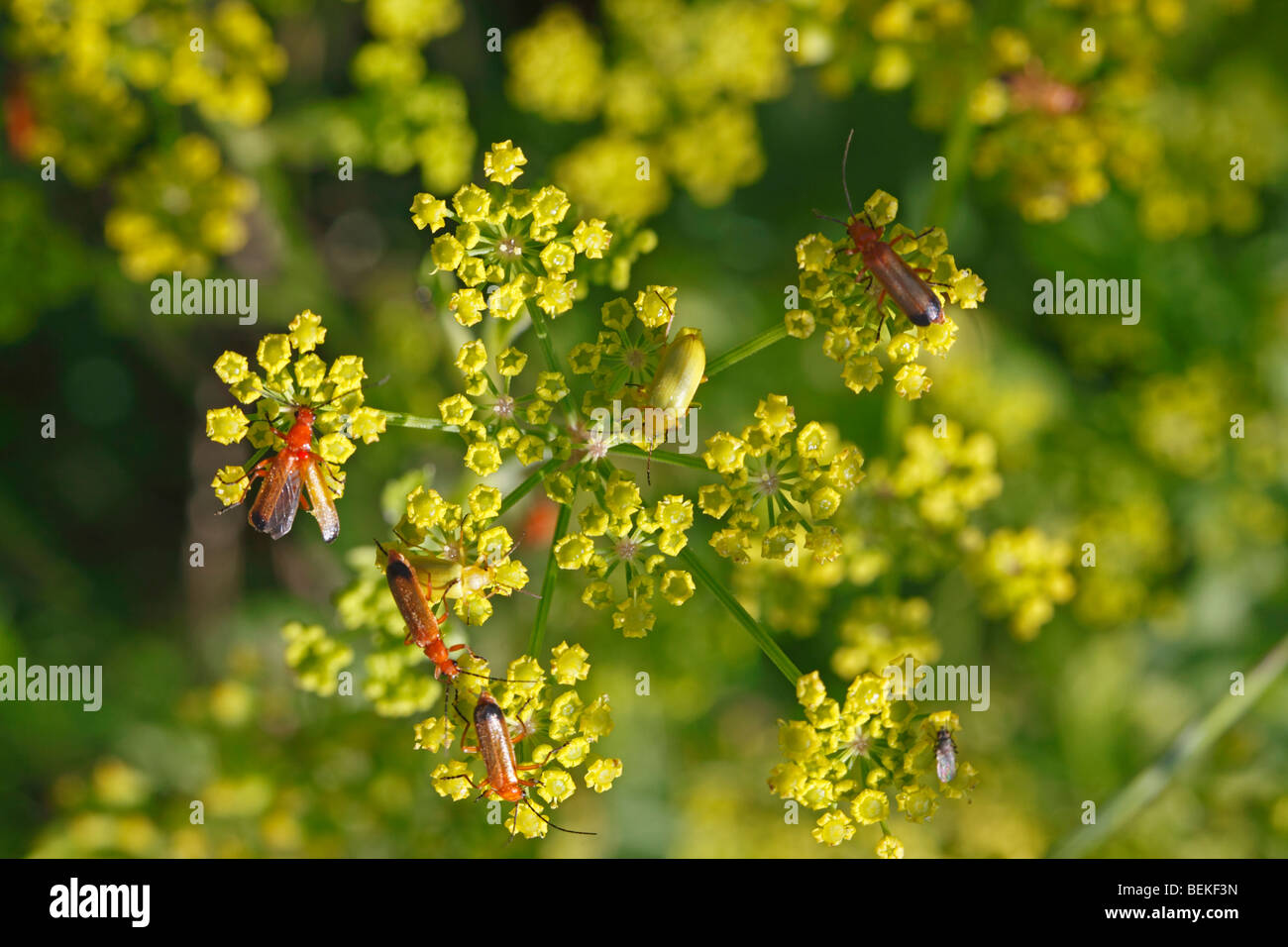 Soldier beetle and pollen beetle on wild parsnip flower - Stock Image