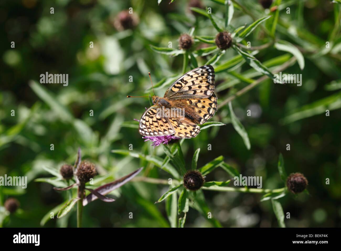 Dark green fritillary (Argynnis aglaja) female taking nectar from knapweed Stock Photo