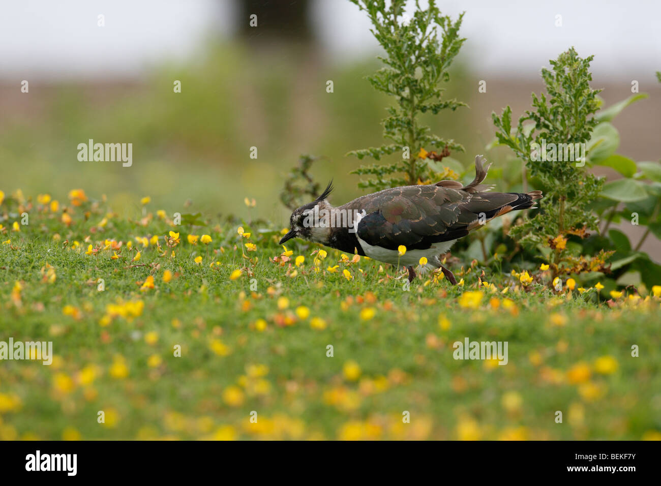Lapwing (Vanellus vanellus) hunting amongst buttercups - Stock Image