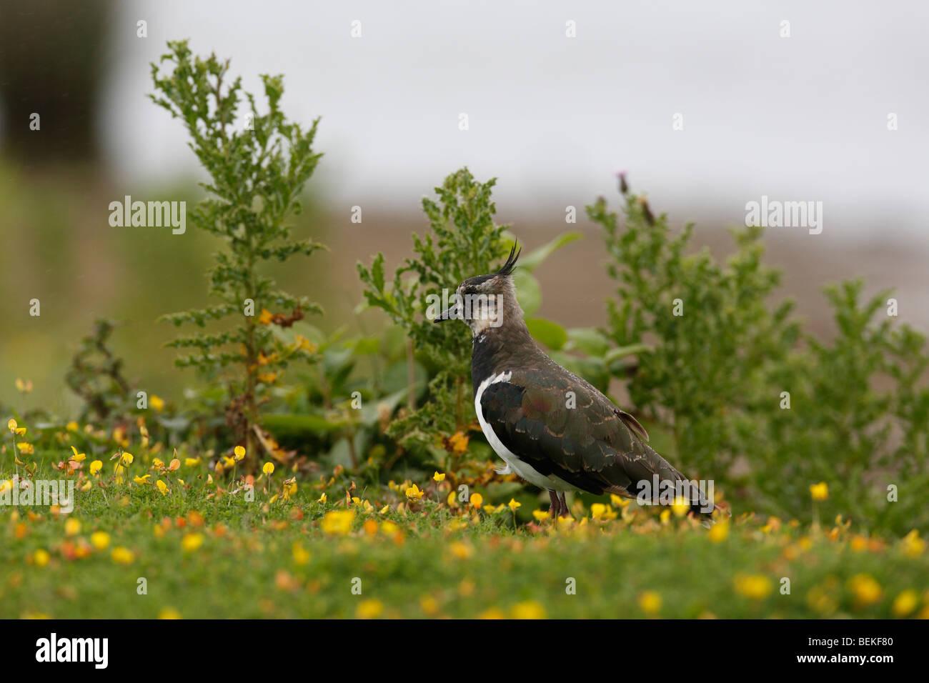 Lapwing (Vanellus vanellus) amongst buttercups - Stock Image